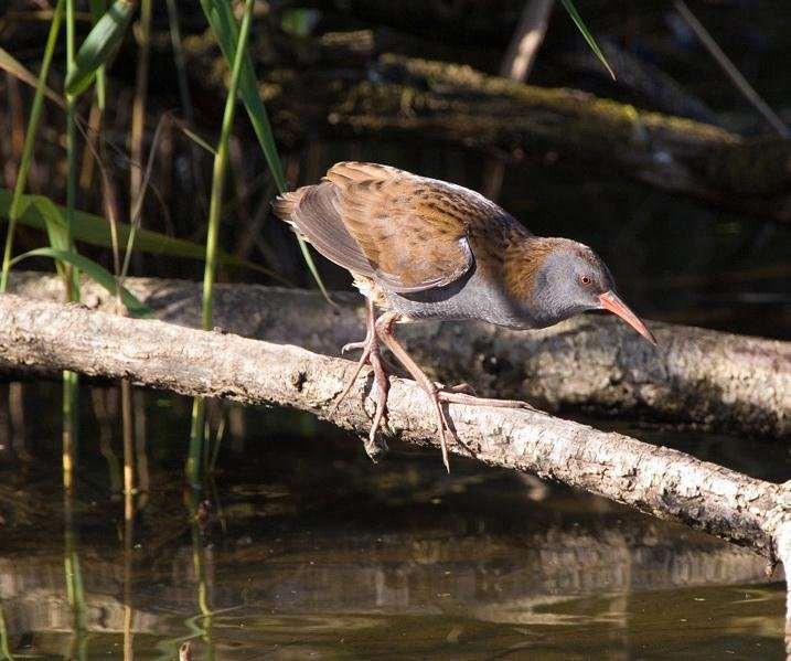 A Water Rail, photographed by Don Davis.