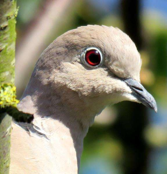 READERS' PHOTOS: Mallcolm Pepper's picture of a collared dove.
