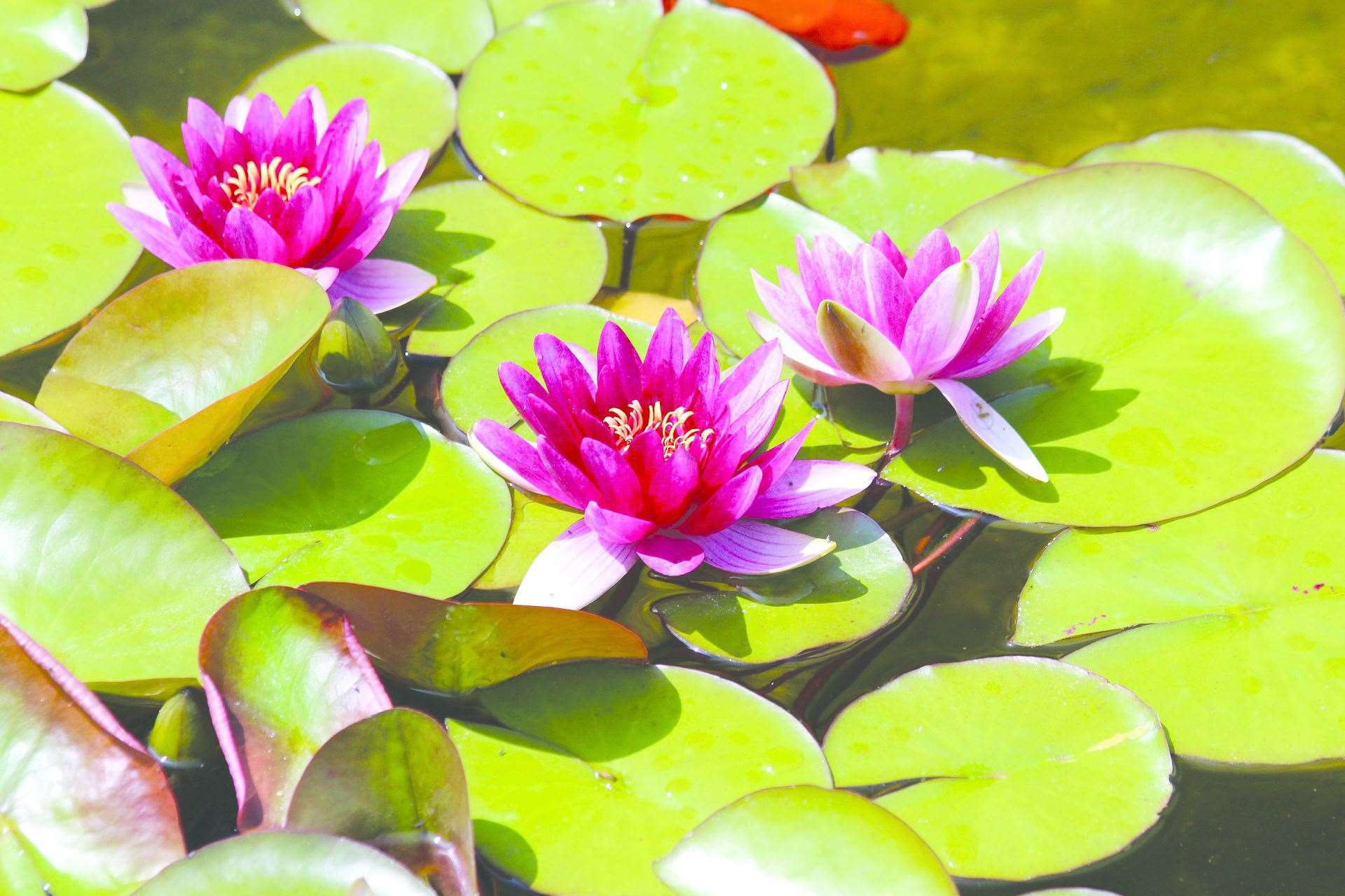 Water lillies (11297904)
